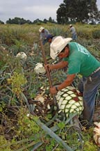jimadors work in the fields cutting agave plants