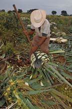 the jimador harvests agave plants