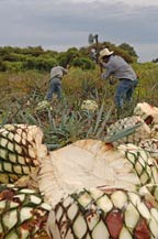 agave hearts (piñas) in the field ready for transport