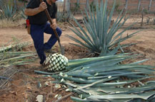 "a ""jimador"" trims the leaves from an agave"