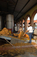 agave pulp on conveyor to extract the juice