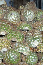 agave piñas or pineapples stacked in front of an oven waiting to be cooked