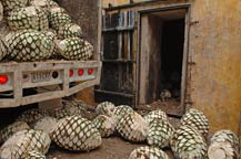 Raw agave hearts (piñas) in front of adobe ovens at Mundo Cuervo, Tequila