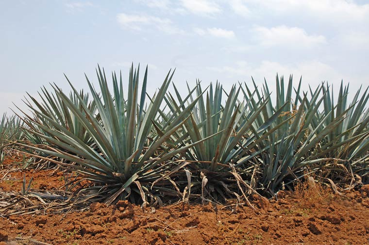 Blue Agave Tequila Plant Tequila History...