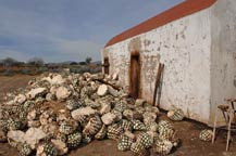 Agave piñas (hearts) in front of an adobe oven at Tres Mujeres Tequila