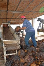 Cooked agave piñas (hearts) are placed on the crusher at Tres Mujeres Tequila