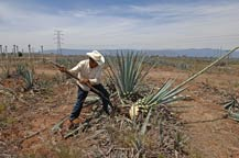 The Jimador perfoms the Jima to harvest the agave plant at Tres Mujeres